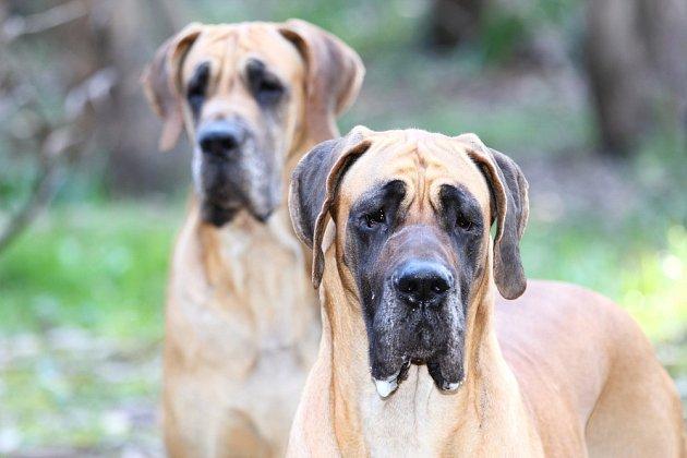 Německá doga plavé barvy bývá někdy zaměňována s dánskou dogou, broholmanem.