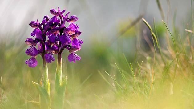 Orchidej na louce