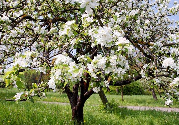Pro rozkvetlé ovocné stromy jsou pozdní jarní mrazíky velmi nebezpečné