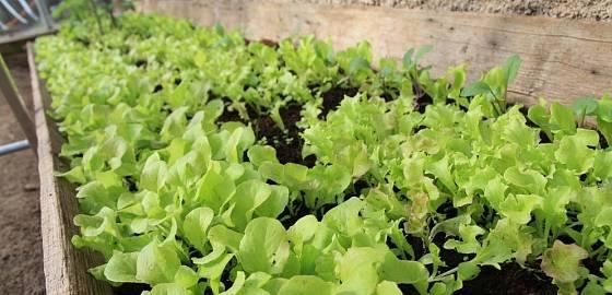 Mladé saláty ve skleníku