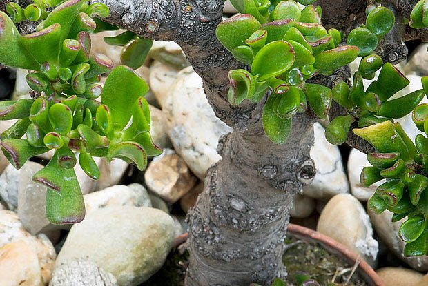 sukulentní bonsaj Crassula ovata