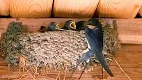 Vlaštovka svá hnízda lepí těsně pod strop