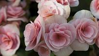 hlíznaté begónie (Begonia x tuberhybrida)