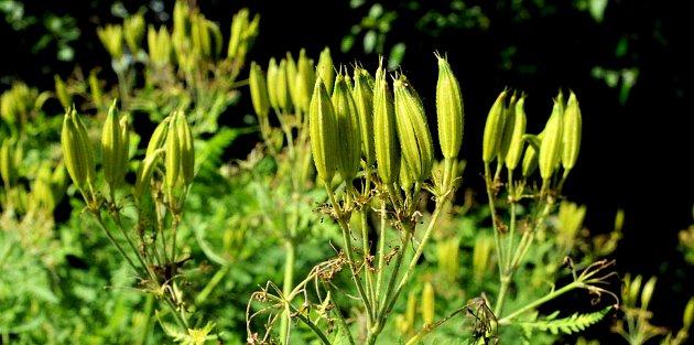 plody čechřice vonné odrůdy Zadní pancíř