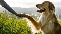 Hovawart je přátelský rodinný pes.