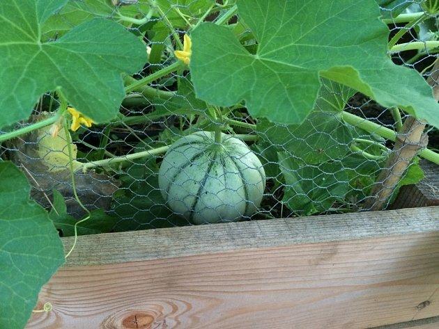 Melouny můžete úspěšně pěstovat na vyvýšeném záhoně