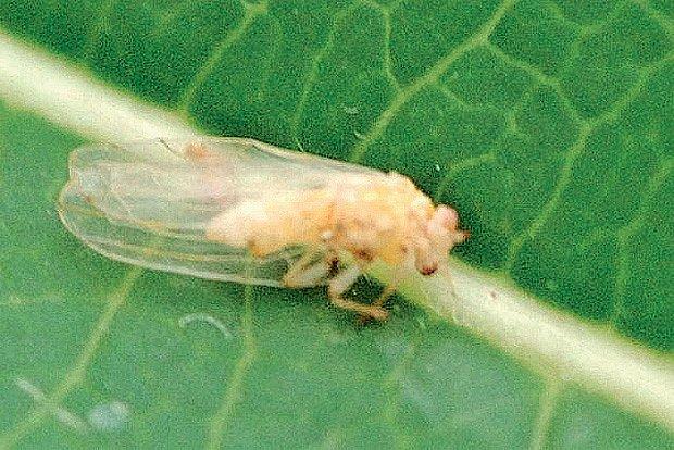 Mera černožilná (Cacopsylla melanoneura)
