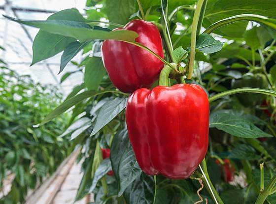 Paprikám skleníkové klima svědčí
