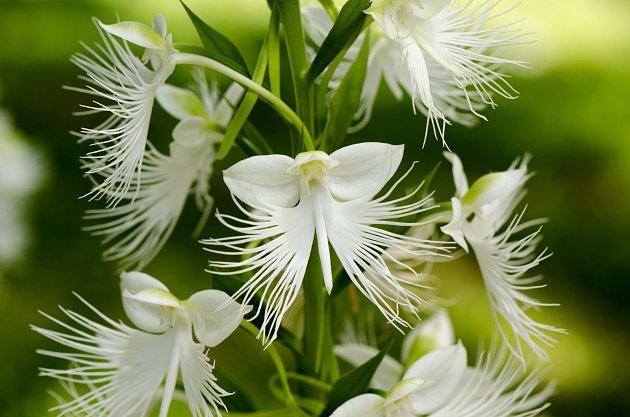 Ptačí orchidej (Pecteilis radiata)