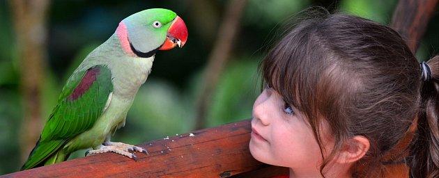 Alexandr malý je papoušek vhodný i pro začátečníky.