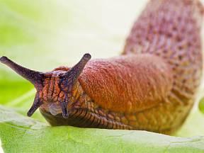 slimák, odvěký nepřítel zahrádkáře