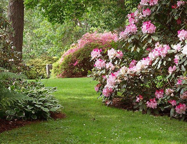 Místo pod vyššími stromy rododendronům svědčí