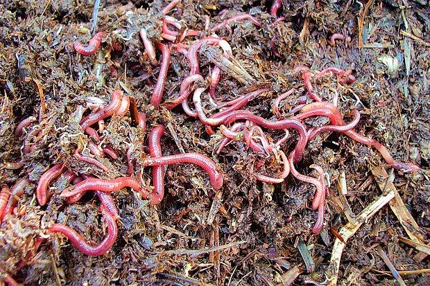 žížalový kompost