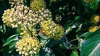 Květy břečťanu sladce voní a sytí včely