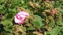 Sadová růže, odrůda Chapeau de Napoleon