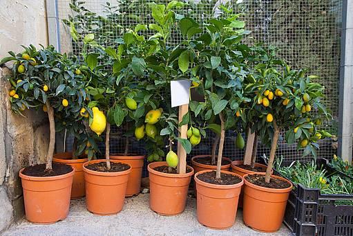 zazimování citrusů