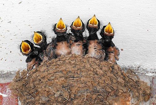 hnízdo vlaštovky obecné