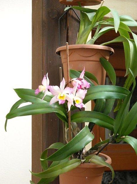 Iwanagara je orchidej vzniklá mezidruhovým křížením