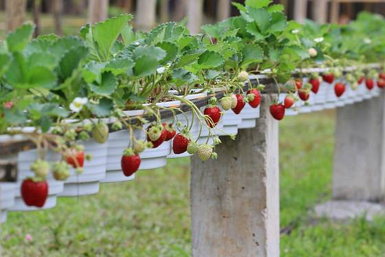 Způsob pěstování jahod si může každý upravit podle svých možností.