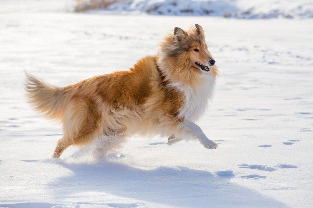 Kolie dlouhosrstá - pes, který miluje volnost.