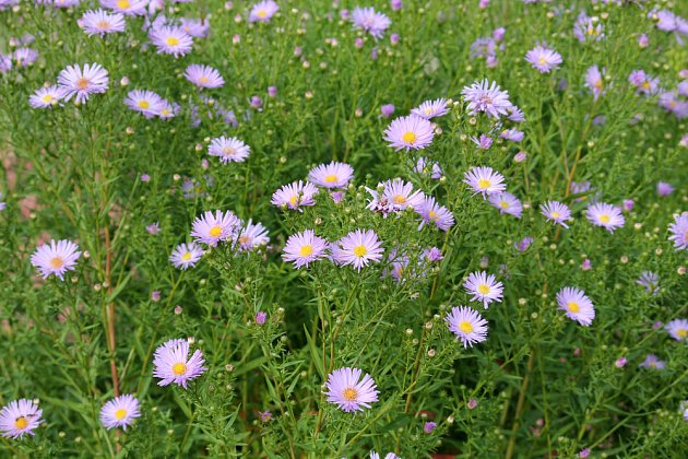 Bohatě větvené turany kvetou velmi dlouho, zde právě rozkvétají