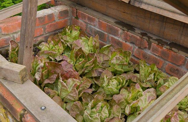 Salátu se v pařeništi velmi daří