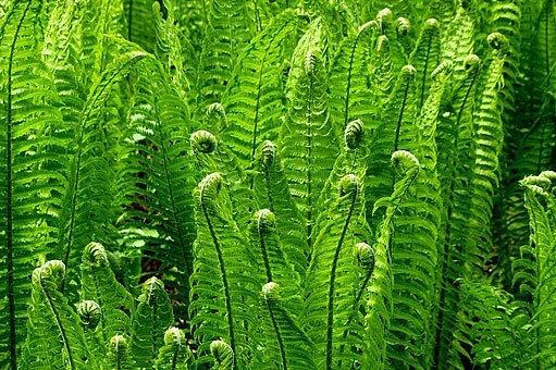 rozvíjející se listy pérovníku pštrosího