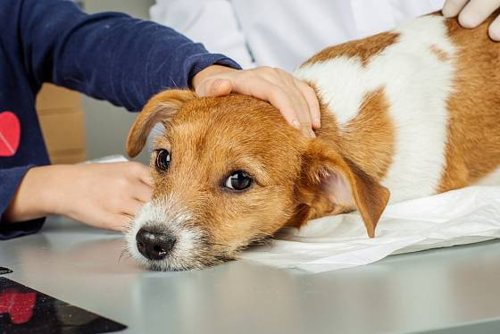 Při včasném zásahu majitele i veterináře se obvykle psa podaří zachránit.