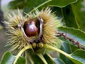 plod kaštanovníku