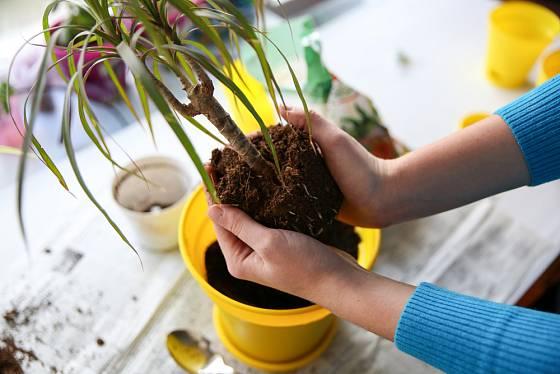 Přesazování pokojových rostlin.