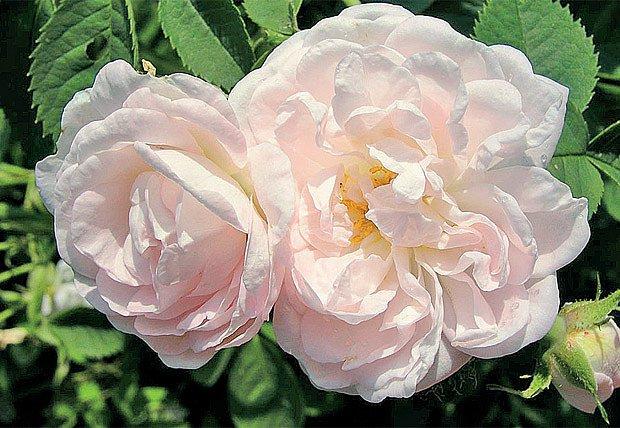 Rosa x alba 'Suaveolens'