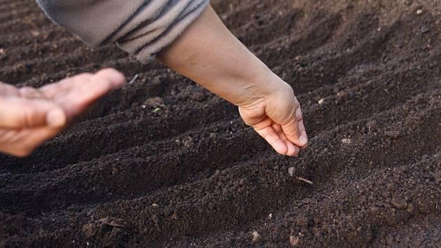 Semena zasetá na podzim vyklíčí časně zjara