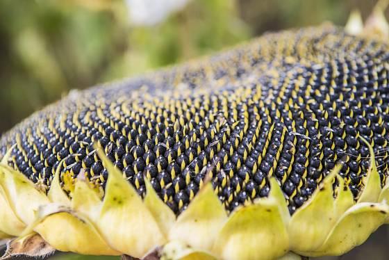 Zralá semena slunečnice jsou oblíbenou pochoutkou ptáků