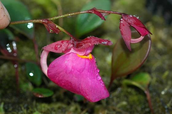 Květ bublinatky Utricularia quelchii