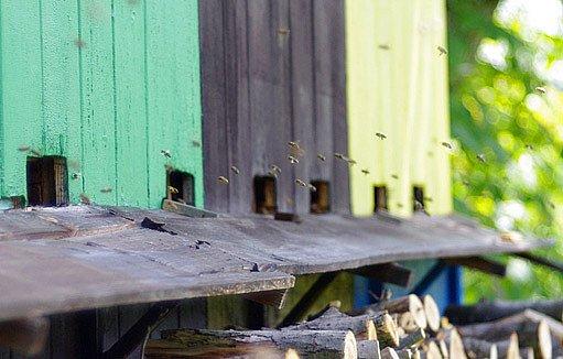 včelky dělnice