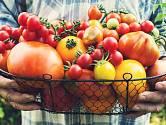 Bohatá úroda rajčat začíná u správné výsadby zdravých sazenic