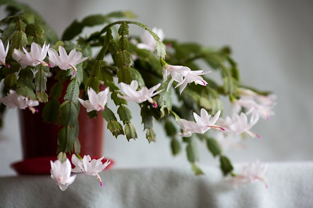 Vánoční kaktus (Schlumbergera truncata, syn. Epiphyllum, Zygocactus)