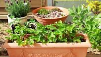 Kromě bylinek pěstujte na balkóně i jahody