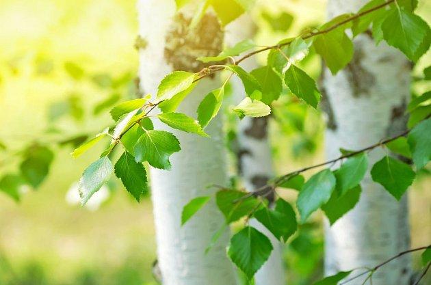Bříza je strom krásný, užitečný a léčivý