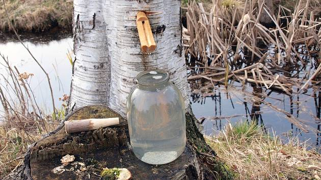 Voda z břízy: Navrtejte kmen a získáte litry zázračné tekutiny