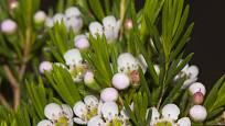 Opuč háčkovitá (Chamelaucium uncinatum) neboli wax flower.