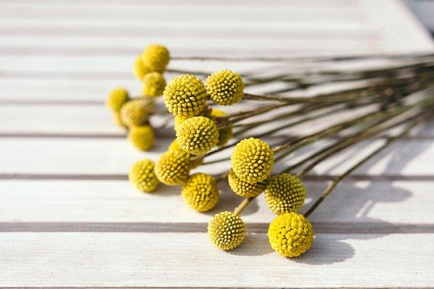 Žlutá kulovitá květenství kraspedie.