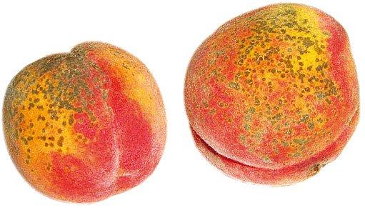 napadené plody broskví