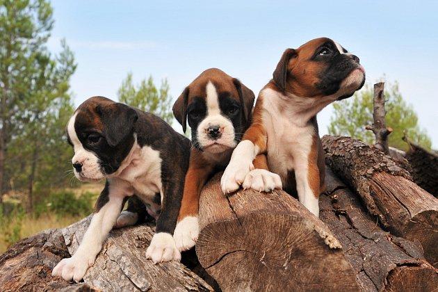 Klauni psího světa, tak bývají boxeři často označováni.