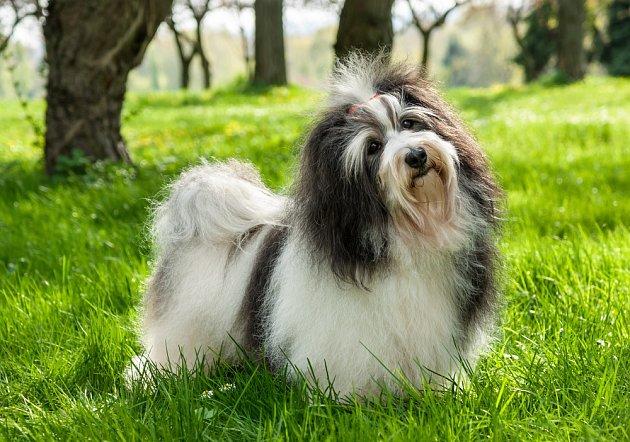 K cizím lidem jsou havanští psíci nedůvěřiví, ale ne agresivní ani bázliví. Nejsou to dobří hlídači.