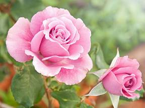 Růžově kvetoucí růže.