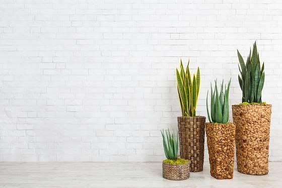 Tenury a aloe - rostliny pro moderní interiér.