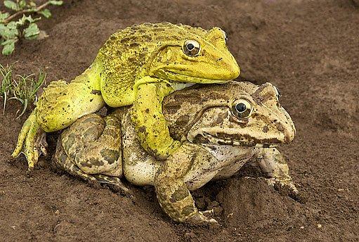 Žabí sameček se vozí na zádech své vyvolené