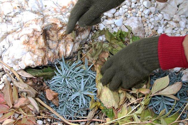 Trvalky včetně skalniček vyžadují ochranu před holomrazem, ale nesmí je zapařit při oblevě