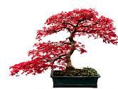 Atraktivně vypadá bonsaj z javor s červenými listy.